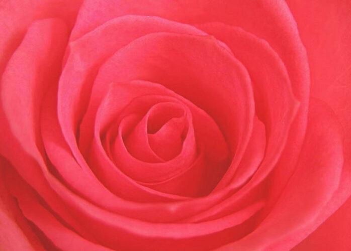 rosa1 698x500 - La Luz del Corazón