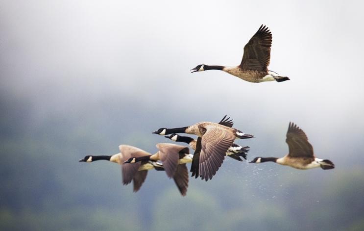 aves migratorias - EL VIAJE