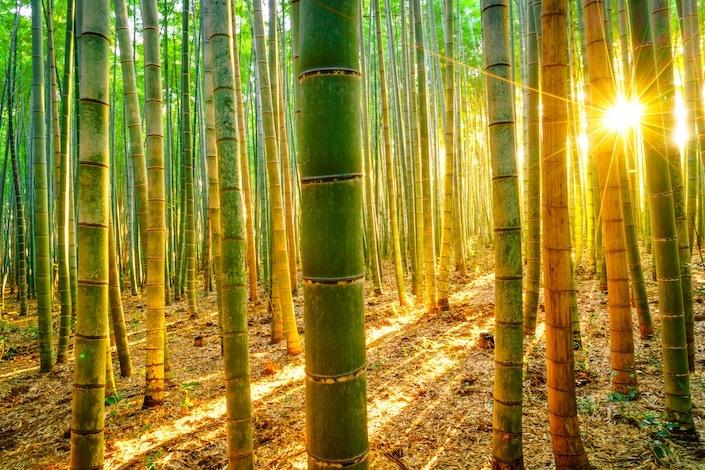 chinese bamboo 010 - RENOVACIÓN